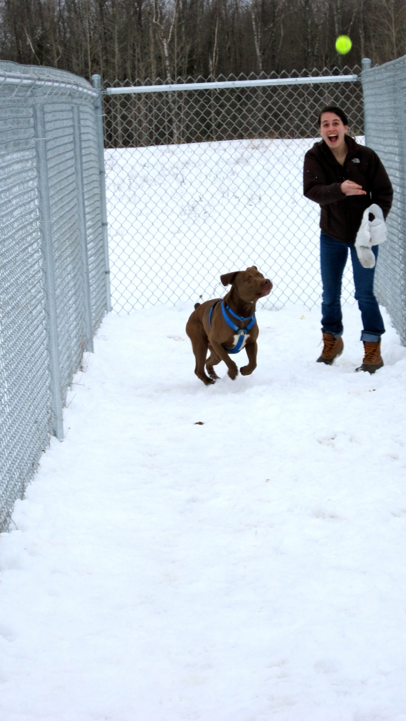 "Enthusiastic Paw Pals volunteer Allison Polchinski '13 throws a ball for loveable Pitbull Terrier ""Jackson"" while helping out at the Waterville Humane Society"